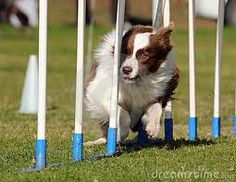 Photo about Border Collie dog weaving fast. Image of working, agile, animal - 8500622 Red Border Collie, Dog Kennel Designs, Dog Playground, Dog Rooms, Herding Dogs, Dog Activities, Collie Dog, Dog Agility, Homemade Dog