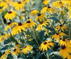 Black-eyed Susan...plant with Russian sage in full sun