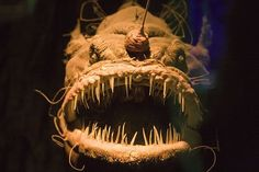 Deep sea monsters - Ocean depths are an extreme environment with some extreme inhabitants. With names like fangtooth and viperfish, these 10 species truly look like deep sea monsters. Deep Sea Creatures, Weird Creatures, Deep Sea Animals, Water Animals, Underwater Creatures, Underwater Life, Scary Fish, Ugly Animals, Scary Animals