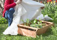 Taimien karaisu on hyvä aloittaa vähitellen. Karaise taimet ennen lopullista istutusta tai siirtoa ulos. Lue Viherpihan asiantuntevat ohjeet.