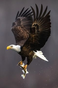 Famous Types of Eagles in The World With Awesome Pictures The Eagles, Types Of Eagles, Bald Eagles, Eagle Images, Eagle Pictures, Beautiful Birds, Animals Beautiful, Aigle Animal, Eagle Wallpaper