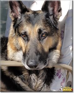 Read Axel's story the German Shepherd Dog from Florida and see his photos at Dog of the Day http://DogoftheDay.com/archive/2014/July/10.html .