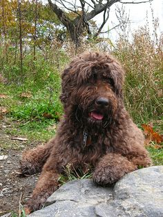 Water Dogs on Pinterest | Portuguese Water Dog, Hypoallergenic Dog ...