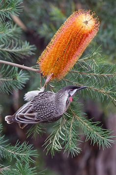 Red Wattlebird feeding on a Banksia flower by stochasticmotions on Flickr.