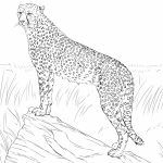 Free Printable Cheetah Coloring Pages   at2ml