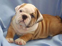English Bulldog Puppies | English bulldog puppies. Ottawa, Nova Scotia.