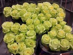 #Rose # Rosa #Green Gene; available at www.barendsen.nl