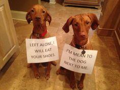 Vizsla punishment. Vizsla stories. I want an ENTIRE HOUSE FULL!!!! BEST DOG EVVA!
