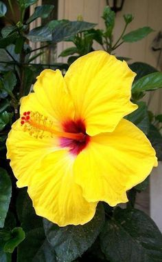 Growing hibiscus is a very easy way to include an exotic flair to your garden. When you recognize the best ways to look after hibiscus plants, you will certainly be rewarded with many years of wonderf Tropical Flowers, Hawaiian Flowers, Hibiscus Flowers, Exotic Flowers, Amazing Flowers, Yellow Flowers, Beautiful Flowers, Lilies Flowers, Growing Hibiscus