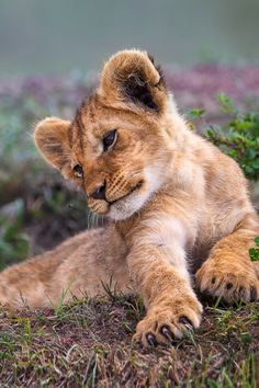 "Lion Cub:  ""Just quietly gazing...""  (If you look closely, you'll see that he is gazing at an insect; quite close to his nose!)"