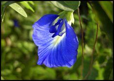 APARAJITA - Clitoria ternatea ( medicinal plant / Flower )