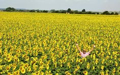 Sea of sunflowers at Lincolnshire, uk