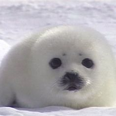 HARP SEAL BABIES LIKE THIS ONE ARE BEING KILLED FOR FUR in HUGE AMOUNTS in CANADA , PLEASE HELP STOP THiS , PASS IT ON!