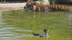 The world's bravest duck proves it doesn't mind a quick game of tag with a tiger! In a video captured at Symbio Zoo, a duck is filmed teasing a tiger in its water container. The tiger chases the bird while the duck swims around and dives underwater for safety.
