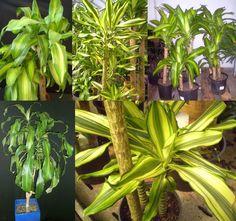 Dracaena fragrans `Massangeana', cornstalk dracaena
