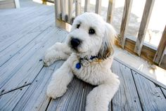 Wallace the Wheaten Terrier chilling at OBX