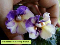 Achimenes ' Blueberry Lemon ' | by Serge Saliba