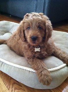 My mini goldendoodle, Django.