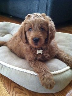 My mini goldendoodle, Django.