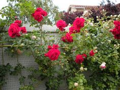 'Stairway to Heaven' (2004) Large-Flowered Climbing Rose | BookHounds: The Roses are in bloom!