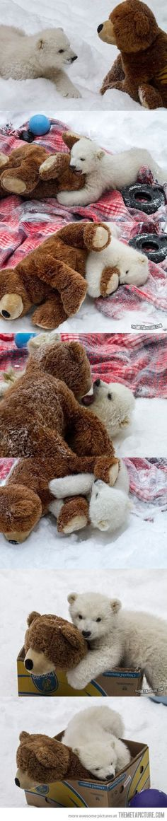 Baby polar bear vs. teddy bear ... Too much cuteness!