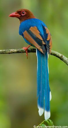 Sri Lanka Blue Magpie~Ceylon Magpie!...fb