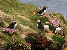 Puffins on Handa Island, Northern Highlands, Scotland. Macareux moine sur l'île de Handa