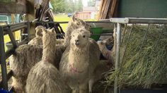 Thirty-three alpacas were seized from a farm recently, and the owner faces animal cruelty charges. According to officials, the animals were being severely neglected, dehydrated and suffering parasitic infection when rescued. Urge Thurston police to ensure this woman faces the consequences of her abuse.