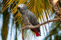 african gray parrot in the maldives islands - Mohamed Shareef