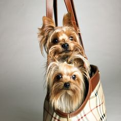 oh so cute.looks like Lily and Lance.my fur babies! Love Pet, I Love Dogs, Mini Yorkie, Yorkie Haircuts, Cute Funny Pics, Cute Dogs And Puppies, Doggies, Dog Rules, Smiling Dogs