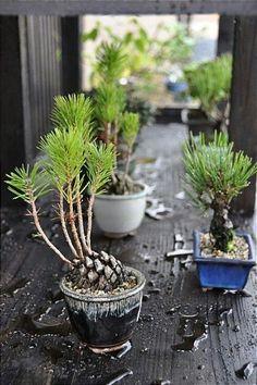 Nästan Bonsai, Gro kottar… – My Home Decoration Indoor Garden, Indoor Plants, Outdoor Gardens, Bonsai Garden, Garden Plants, Garden Mulch, Bonsai Plants, Bonsai Trees, Garden Sheds
