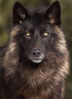 Wolf Portrait Print by Michelle Lalancette
