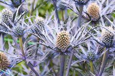 Eryngium Bourgatii 'Picos Blue', Mediterranean Sea Holly 'Picos Blue', Bourgati's Eryngo 'Picos Blue', Dry soils plants, Sandy soils plants, Blue flowers, Blue perennials