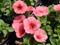 Petunia Sweetunia Bubblelou
