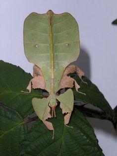 Phyllium bioculatum - Leaf Insect
