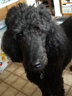 This is Gabe, my standard poodle. Standard Poodles, Therapy Dogs, Adorable Animals, Merlin, Animals And Pets, Best Dogs, Dog Breeds, Dogs And Puppies, I Am Awesome