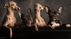 French Bulldogs & Italian Grey hounds. Omg so cute there opposites!