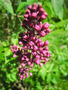 Lilakowy miodek do lilakowej herbatki – Niezłe Ziółko Lilac, Plants, Magick, Syringa Vulgaris, Plant, Planets, Lilacs