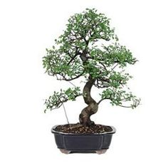 Chinese Elm Bonsai Tree Upright $169.58 (Indoor or Outdoor) (Auction ID: 101366, End Time : Feb. 21, 2013 22:21:20) - auctionhousedirect