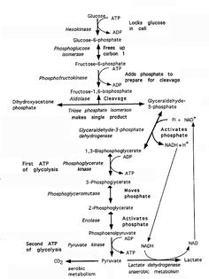 glycolysis | The Glycolysis Pathway: