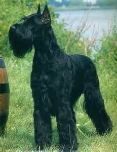 Giant Schnauzer- our neighbors have two, and I am obsessed!