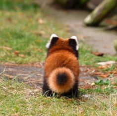 The tail end of a red panda Cute Funny Animals, Cute Baby Animals, Animals And Pets, Wild Animals, Cute Creatures, Beautiful Creatures, Animals Beautiful, Red Panda Cute, Tier Fotos