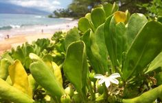 The myth about the Naupaka is one of my favorites. One lover lives at the beach, and the other up in the mountain.
