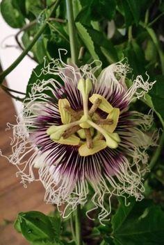 Mučenka jedlá - Maracuja (1) Herbs, Plants, Herb, Plant, Planets, Medicinal Plants