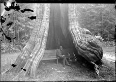 1889 Man sitting on a bench inside the Hollow Tree in Stanley Park