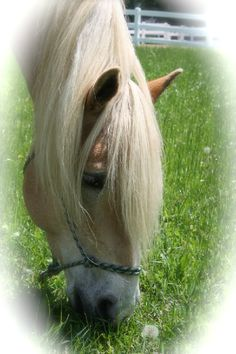 I love my Haflinger horse, Leo - this breed of horse has a beautiful mind and spirit - such a willing partner polychrome1