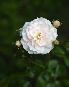 In my august garden. Possibly my favorite rose? Rose, Garden, Flowers, Plants, Pink, Garten, Lawn And Garden, Gardens, Plant
