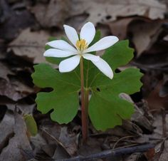 Here's one of our earliest spring flowers, bloodroot (Sanguinaria canadensis), named for its blood-red sap. This plant's seeds—like those of many spring flowers—have an extra fleshy attachment called an elaiosome that woos hungry ants. These insects carry the seeds underground so they can munch on the elaiosomes, effectively planting a garden of future bloodroots.