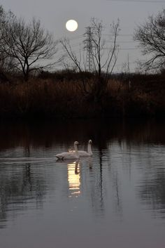 Full Moon and Tundra Swan by Mubi.A