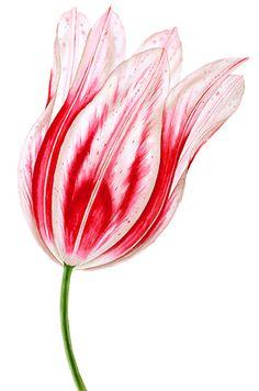 Nicola Wiehahn - Artist - Designer - Illustrator -  Botanical Illustration - Watercolour of red white tulip